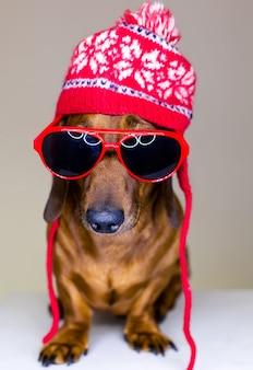 Chien teckel, portant un chapeau d'hiver et des lunettes, assis et posant