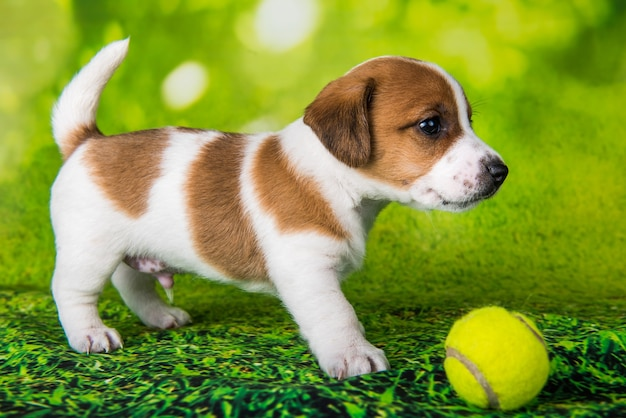 Chien de terrier jack russell heureux ludique avec balle de tennis