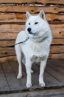 Un chien de traîneau blanc se tient dans une cage en laisse et regarde ailleurs
