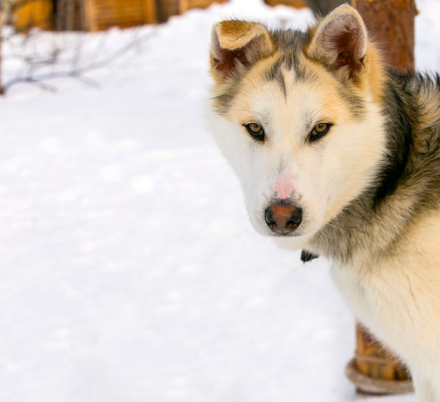 Chien de traîneau chien husky sibérien agrandi.