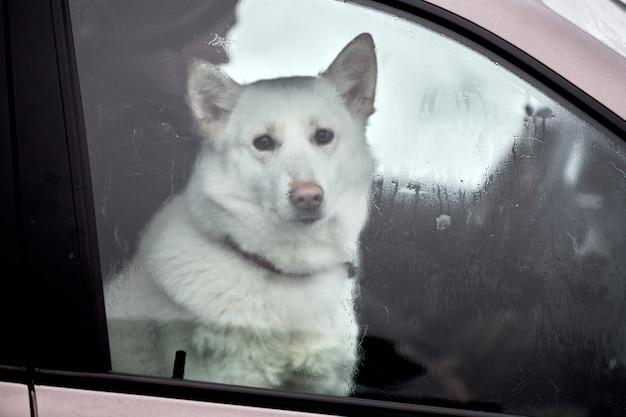 Chien de traîneau husky en voiture, animal de compagnie de voyage