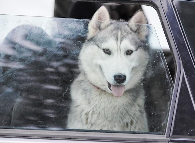 Chien de traîneau husky en voiture