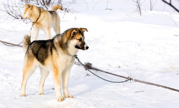 Chien de traîneau siberian husky