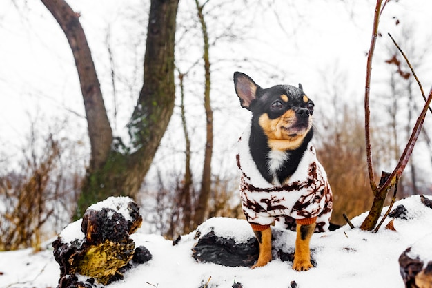 Chien en vêtements d'hiver. chien chihuahua en salopette d'hiver pour chiens. hiver enneigé et chien