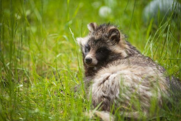 Chien viverrin assis sur l'herbe au zoo