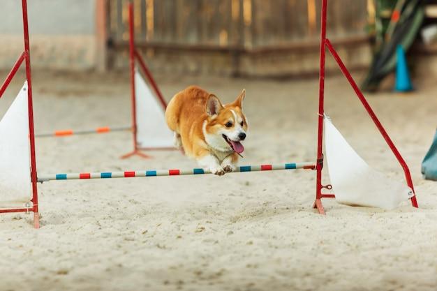 Chien welsh corgi effectuant pendant le spectacle en compétition.
