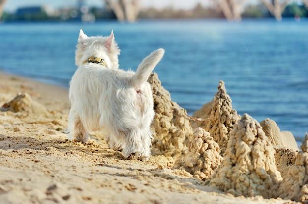 Chien westie marchant le long de la plage de sable