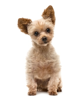 Chien yorkshire terrier assis
