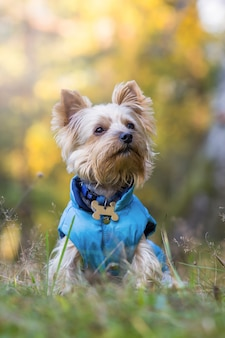 Chien yorkshire terrier dans la forêt