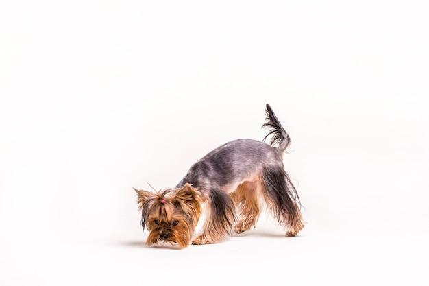 Chien yorkshire terrier sur fond blanc