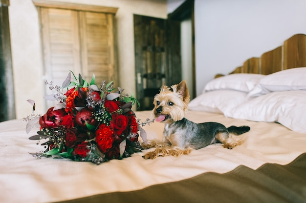 Chien yorkshire terrier se trouve sur un lit dans la chambre près d'un beau bouquet de fleurs rouges. beau et joli cadeau de vacances. humeur romantique. détails.