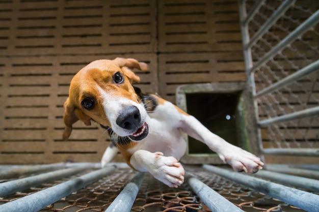 Chiens beagle dans une cage