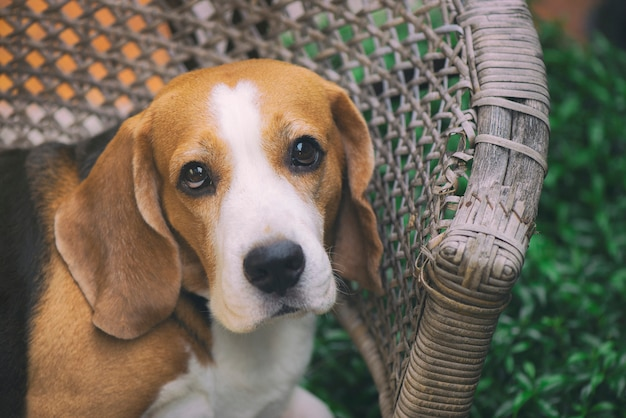 Chiens beagle observent avec des yeux doux et amicaux