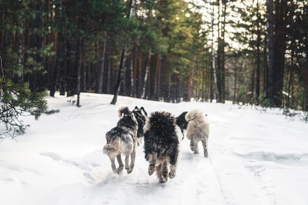 Chiens courir dans la neige. des chiens husky courent à travers la forêt d'hiver.