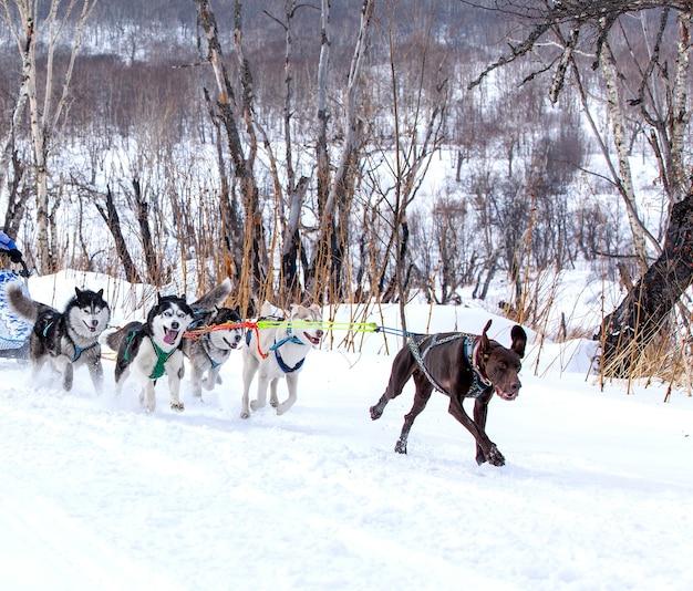 Les chiens en harnais tirant un traîneau compétitions en hiver