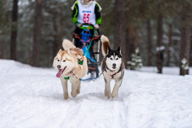 Chiens husky tirant un traîneau avec musher