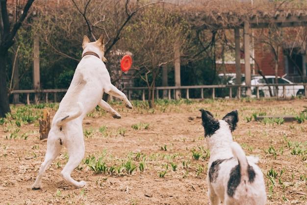 Chiens jouant avec un frisbee
