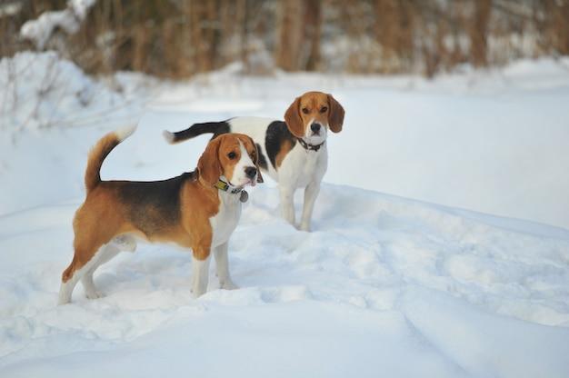Les chiens de race beagle jouent dans la neige en hiver à l'extérieur.