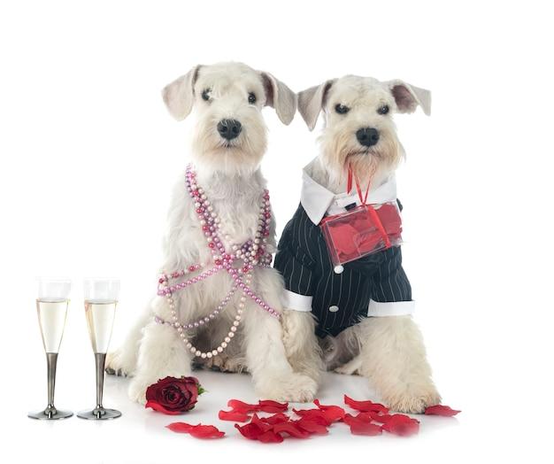 Chiens et saint valentin