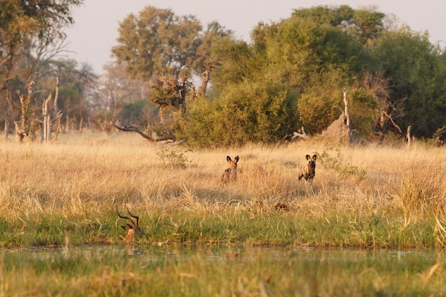 Chiens sauvages chassant des impalas désespérés