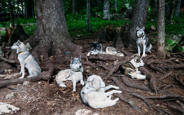 Chiens de traineau husky à l'arrêt sous un arbre.