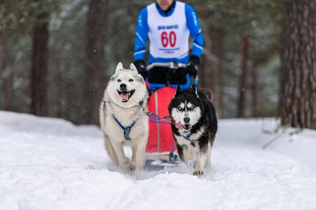 Les chiens de traîneau husky attelés au harnais courent et tirent le conducteur. courses de chiens de traîneaux. championnat de sport d'hiver.