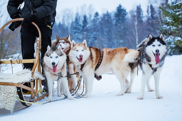 Chiens de traîneau husky en hiver le jour de la neige