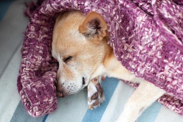 Chihuahua allongé à la maison sur le canapé après la marche. chien fatigué endormi au repos dans le salon. concept d'animaux de compagnie. vie de chien heureuse. petit chien dort à la maison sur un lit recouvert d'une couverture le week-end. paresseux t
