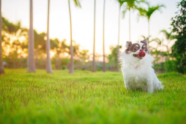 Un chihuahua allongé et relaxant sur l'herbe dans le jardin avec une journée de printemps ensoleillée. couleurs printanières chaudes.