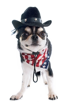 Chihuahua américain