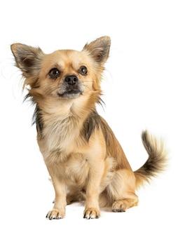 Chihuahua aux cheveux longs assis