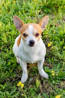 Chihuahua blanc drôle avec de grandes oreilles