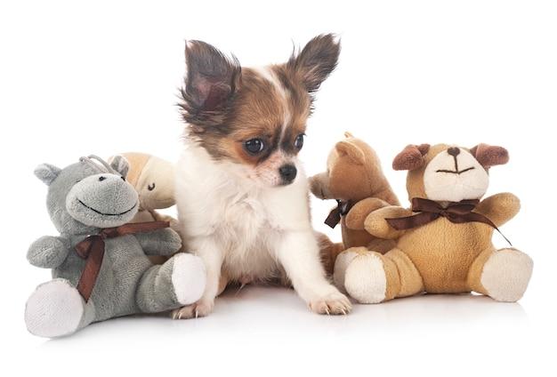Chihuahua sur blanc isolé