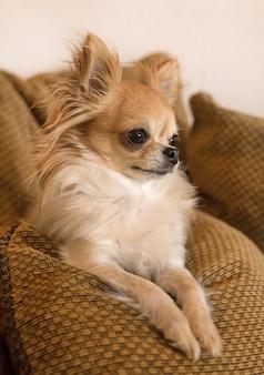Chihuahua sur le canapé
