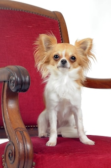 Chihuahua sur chaise