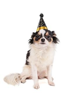 Chihuahua avec un chapeau de fête sur une surface blanche