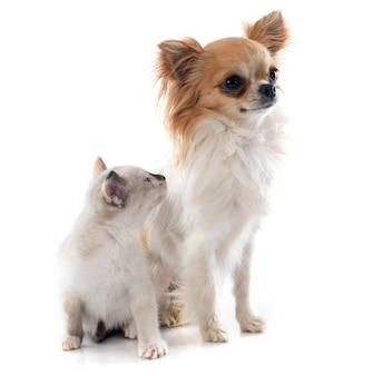 Chihuahua et chaton siamois