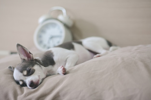 Chihuahua chien dort