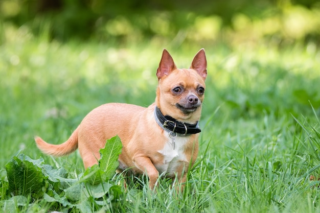 Chihuahua chien sur l'herbe