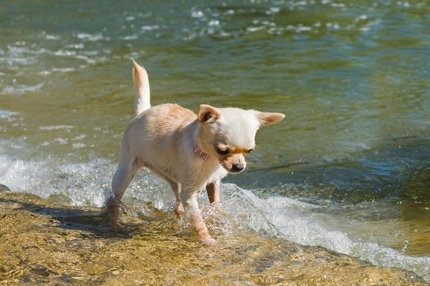 Chihuahua chiot dans la rivière