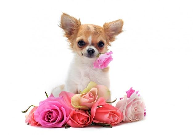 Chihuahua chiot et fleur