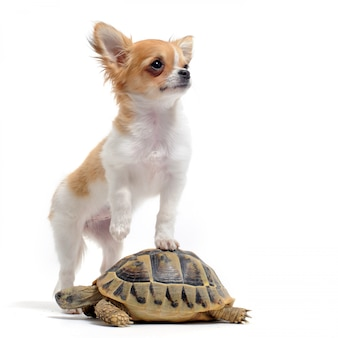 Chihuahua chiot et tortue