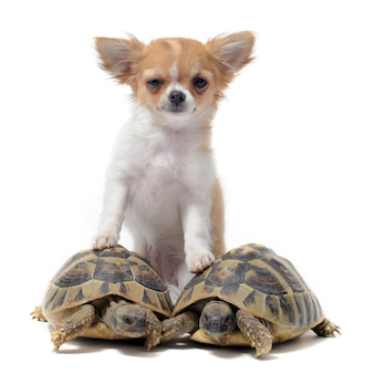 Chihuahua chiot et tortues