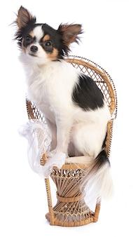 Chihuahua à côté d'une chaise en osier