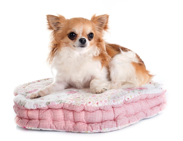 Chihuahua sur coussin