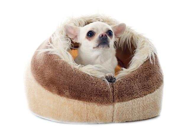 Chihuahua en coussin