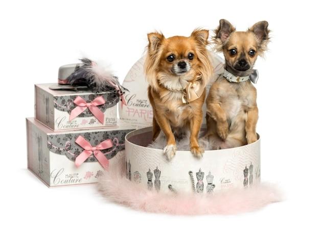Chihuahua dans une boîte à vêtements isolé sur blanc