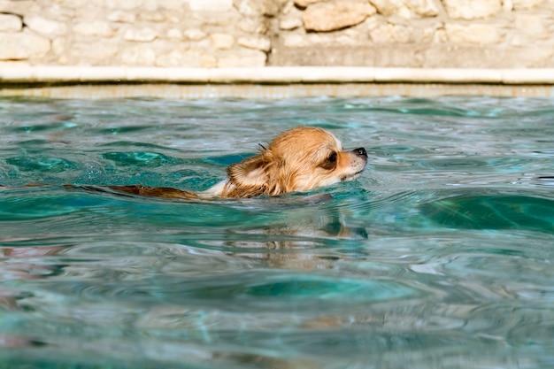 Chihuahua dans l'eau