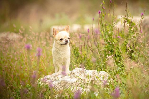 Chihuahua dans les herbes dans la nature