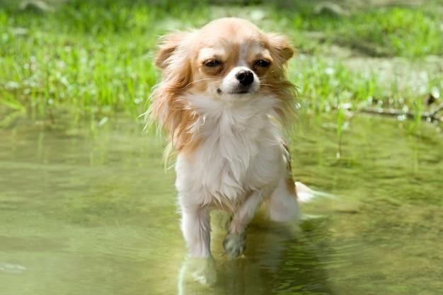 Chihuahua dans la rivière